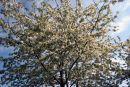 Gean (flowering cherry)