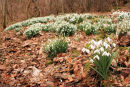 Snowdrops at Boghall Farm
