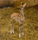 10 day old Giraffe At Paignton Zoo