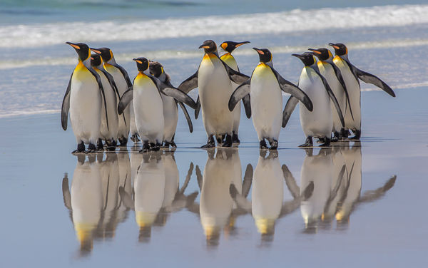 King Penguin beach party