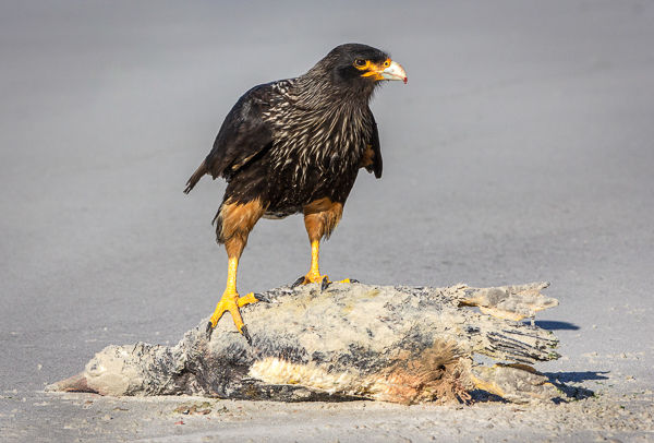 Striated caracara scavenging on gentoo penguin carcass
