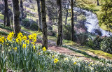 Daffodils at Castle Hill, Filleigh
