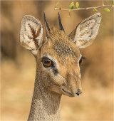 Dik dik antelope, Kenya