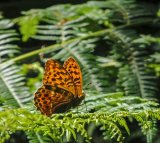 Pearl-Bordered Fritillery
