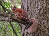 Red Squirrel Aira Falls Near Penrith