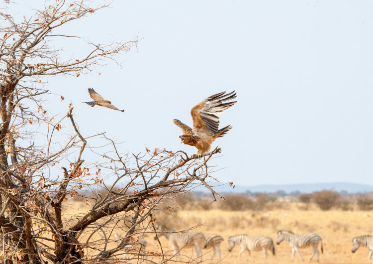 Tawny Eagle & Greater Kestrel