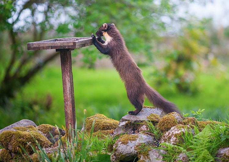 """Pine Marten: """"Early"""" & what's on the table today?"""