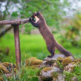 "Pine Marten: ""Early"" & what's on the table today?"