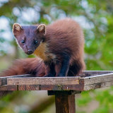 "Pine Marten: ""Early"" on the bird table"