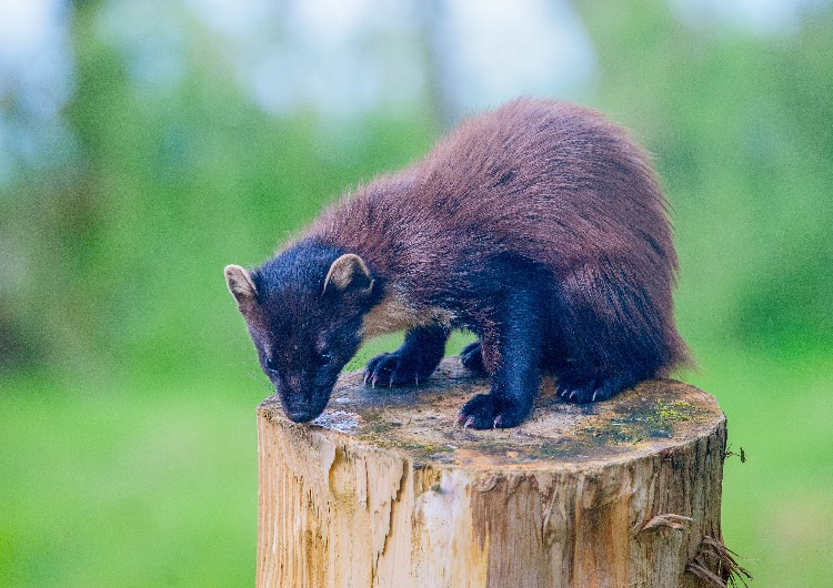 "Pine Marten: ""Early"" in summer moult"
