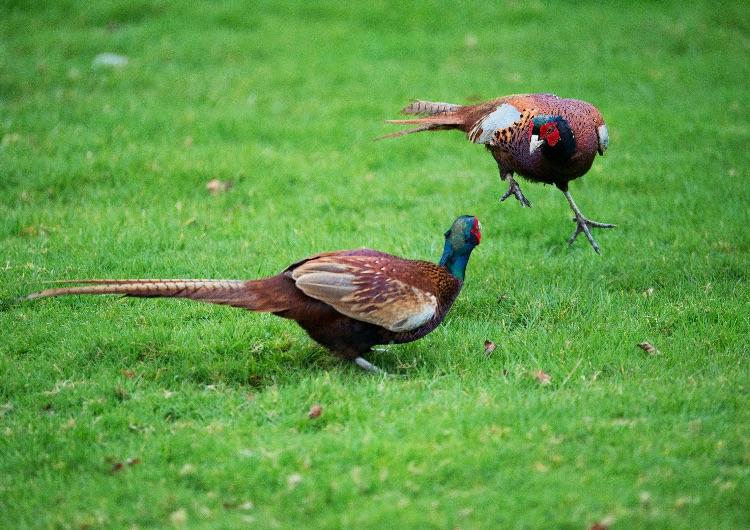 Pheasants sparring