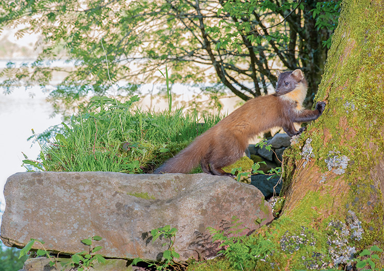 """Pine Marten: """"Early"""" in the afternoon"""
