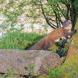 "Pine Marten: ""Early"" in the afternoon"