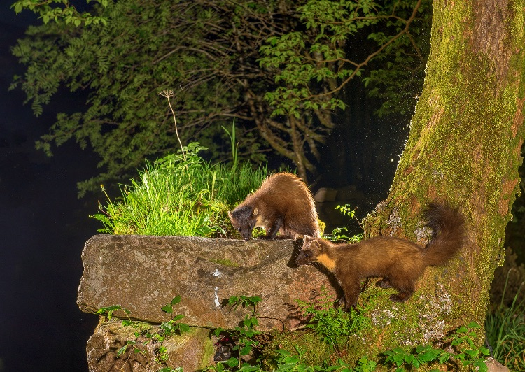 "Pine Martens - alpha male (""Late"") in foreground with 1-year old son (""Early"")"