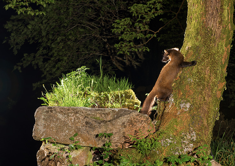 """Pine Marten: """"Late"""" asking where is this son of mine?"""