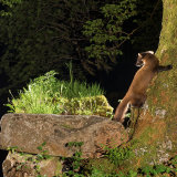 "Pine Marten: ""Late"" asking where is this son of mine?"