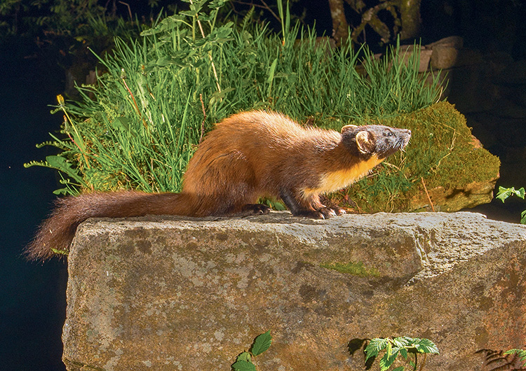 "Pine Marten: ""Early"" in the bright lights"