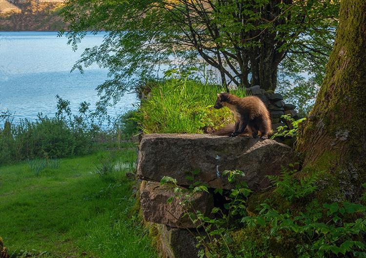 """Pine Marten: """"Early"""" & the Loch"""