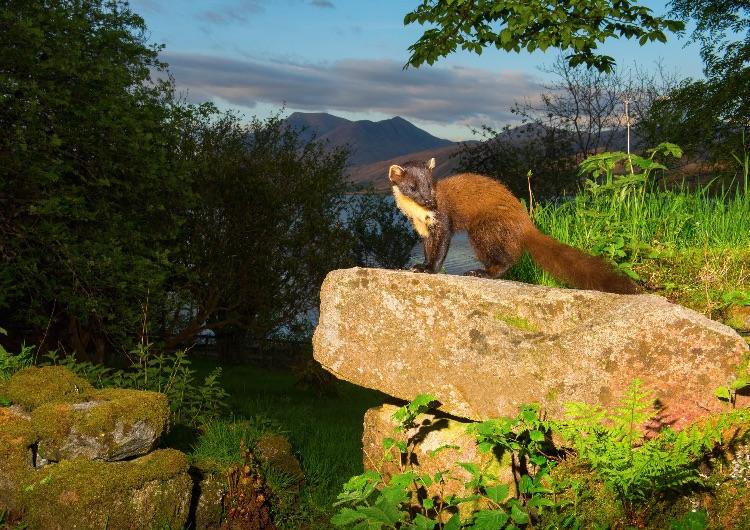 "Pine Marten - ""Early"" surveying the Scottish scenery"