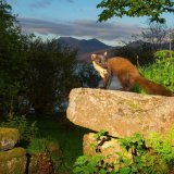 "Pine Marten - ""Early"" surveying the Scottish scenery"