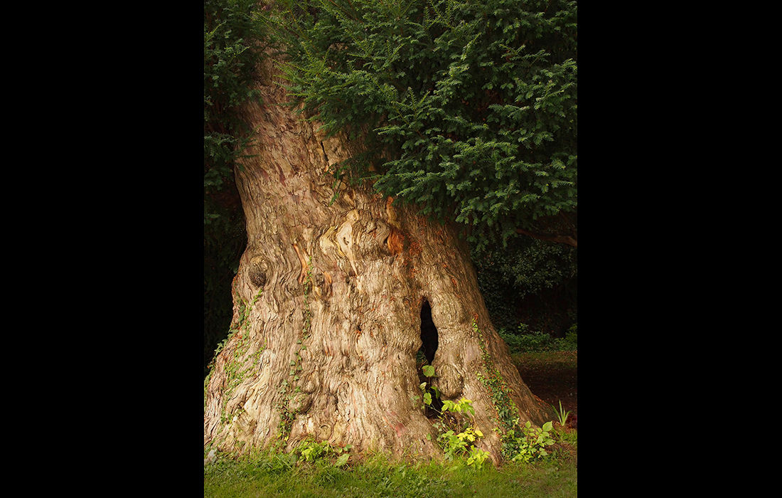 Ancient yew, Didcot
