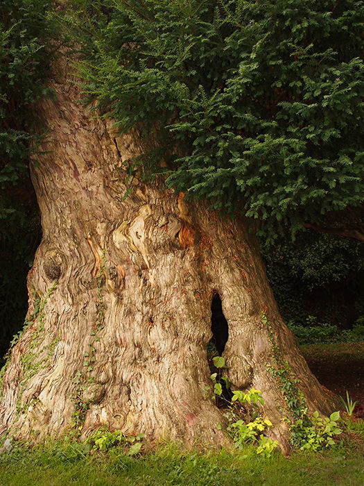 Ancient yew, Dididcot klj