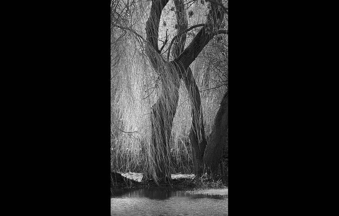 Flooded willow