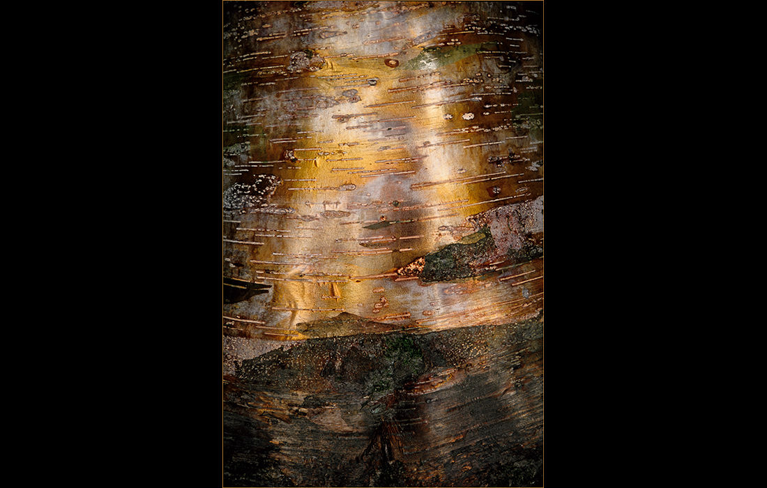 Golden bark, Westonbirt Arboretum