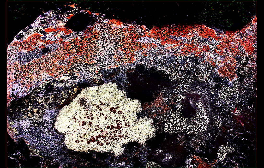 Lichen on rock, Japan 1982
