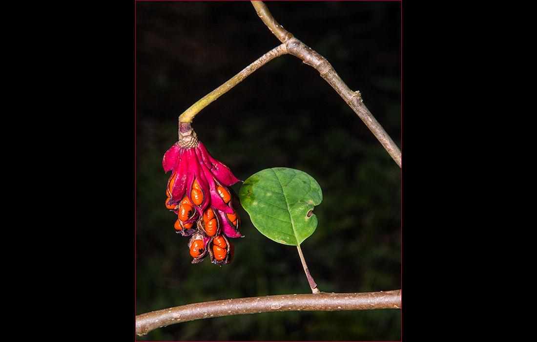 Magnolia Seiboldii