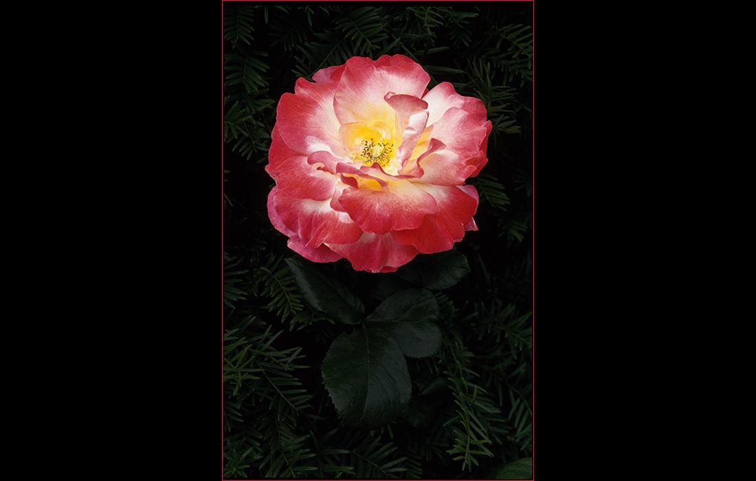Pink, white and yellow rose, Malmsbury Abbey Garden