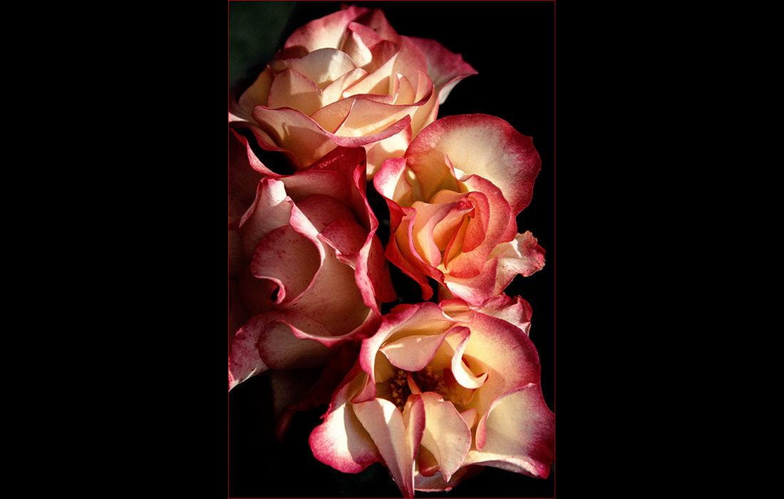 Roses, Malmsbury Abbey Garden