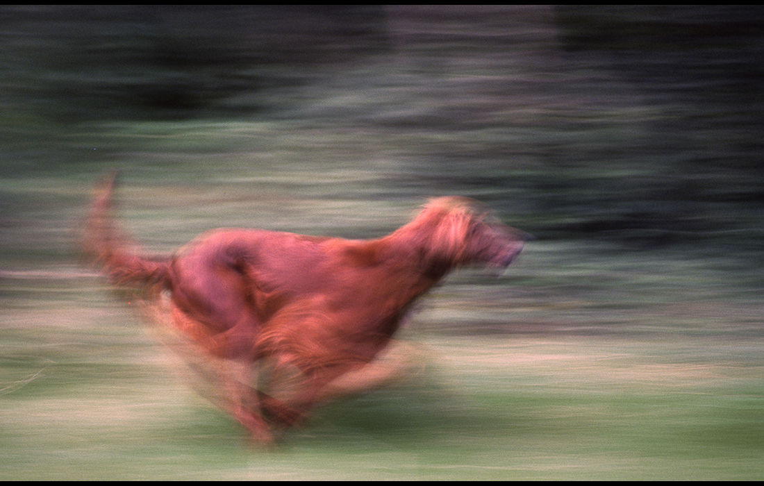 Running dog, England c.1976