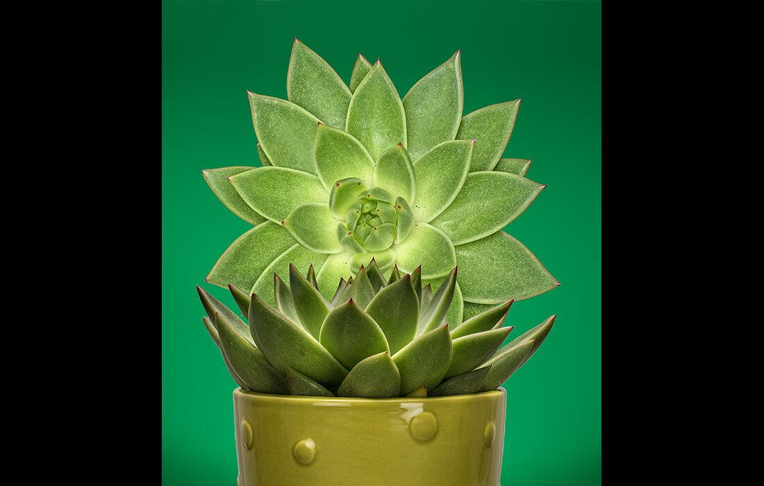 Succulent (revised)