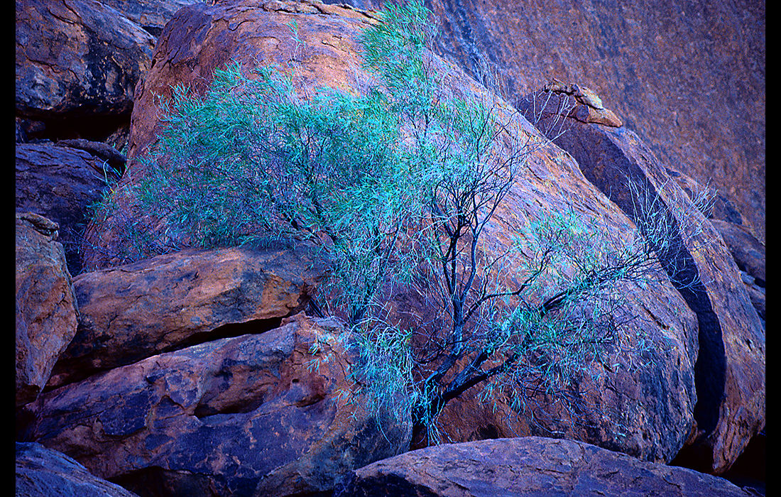 Tree at dusk, Ayers Rock Australia 1989
