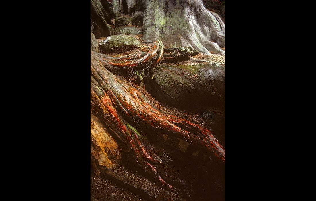Tree root, Japan 1982