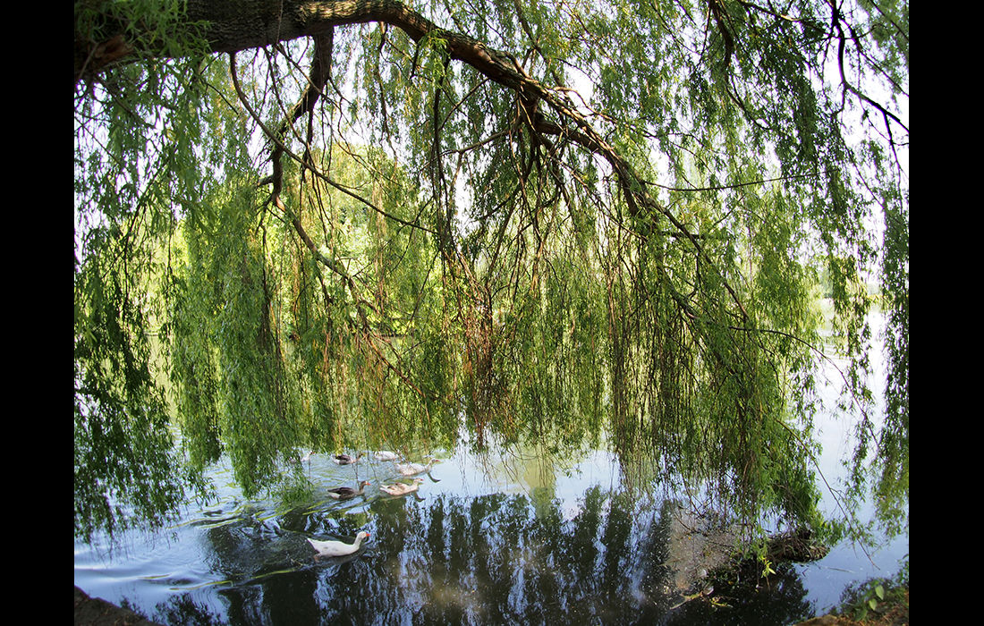 Willow next to the Thames