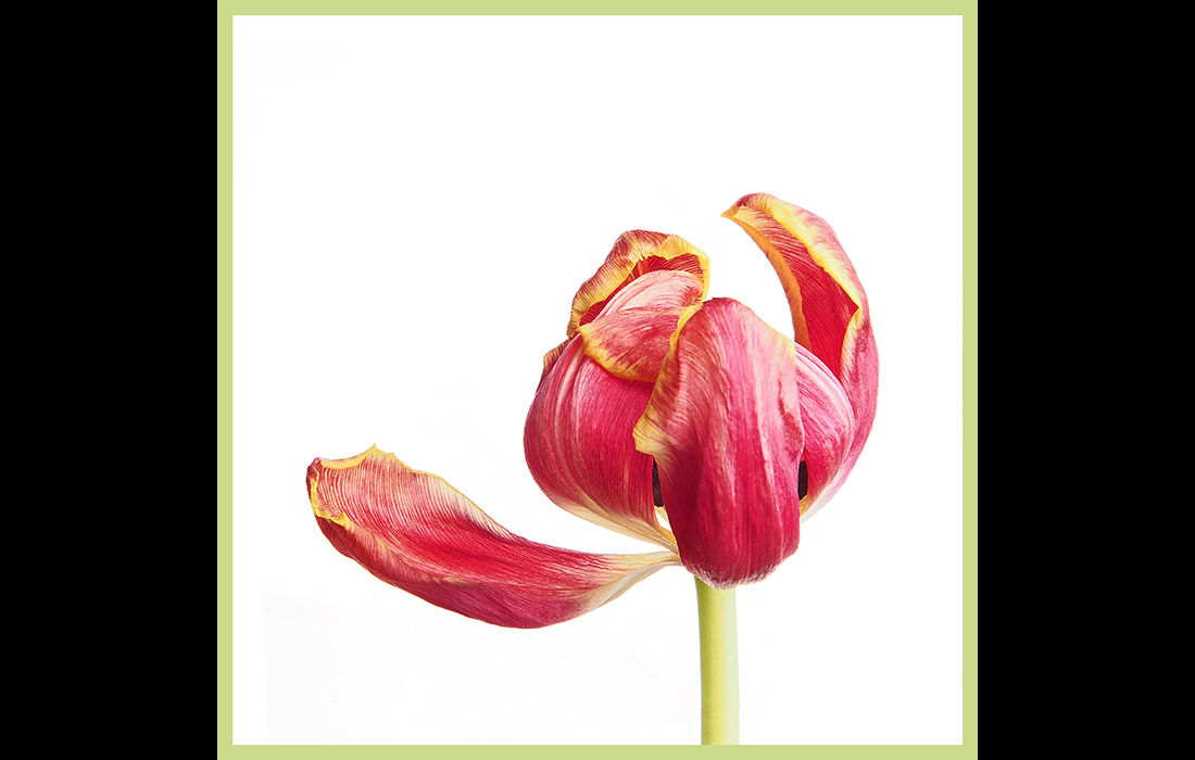 Wilting tulips (right image)