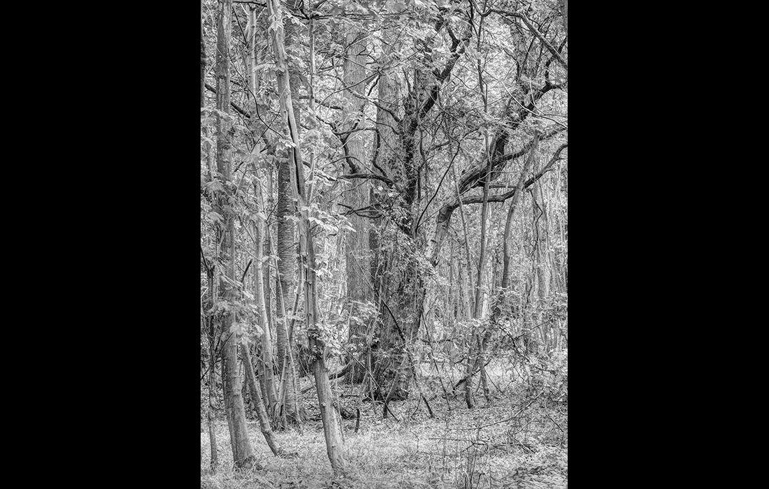 Woodland confusion No.2