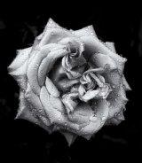 02. Rose II