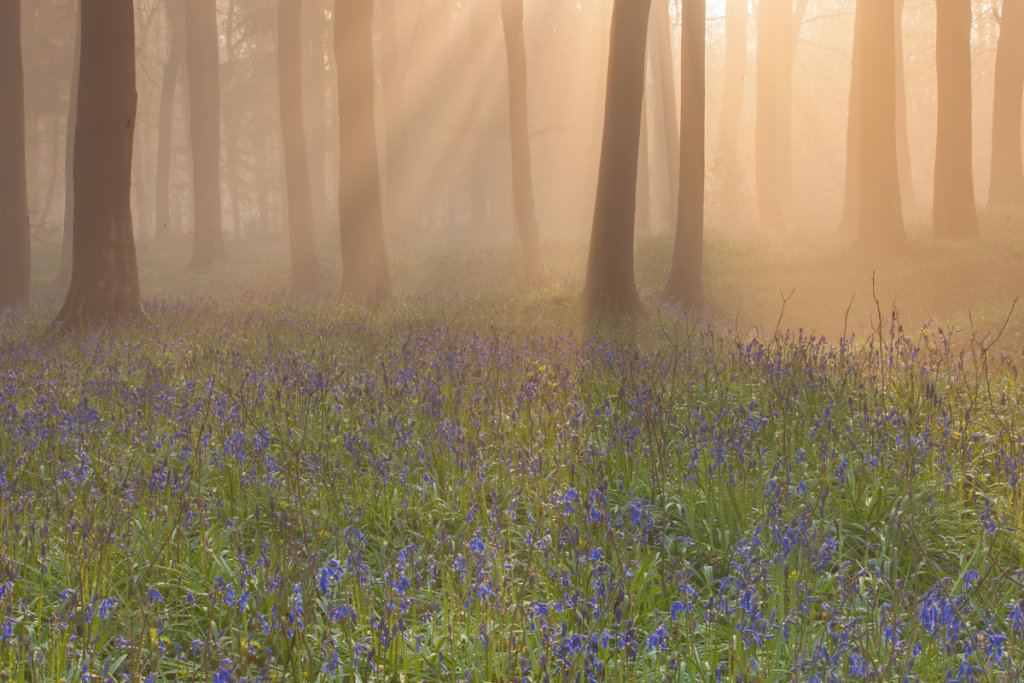 Misty Bluebell Woods