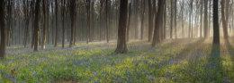 Misty Bluebells