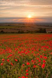 Oxfordshire Poppy Field