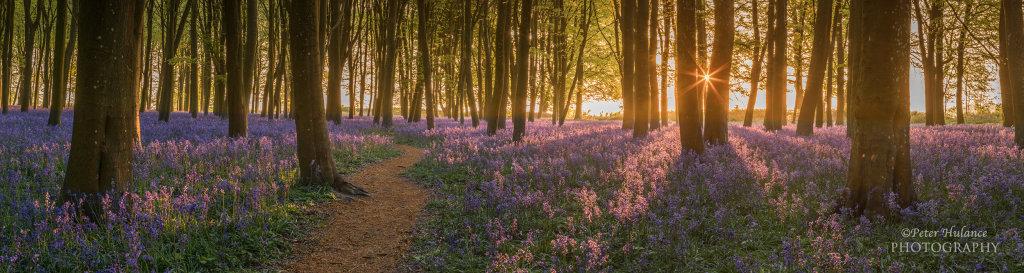 Bluebell wood at sunrise