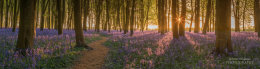Bluebell wood at sunrise