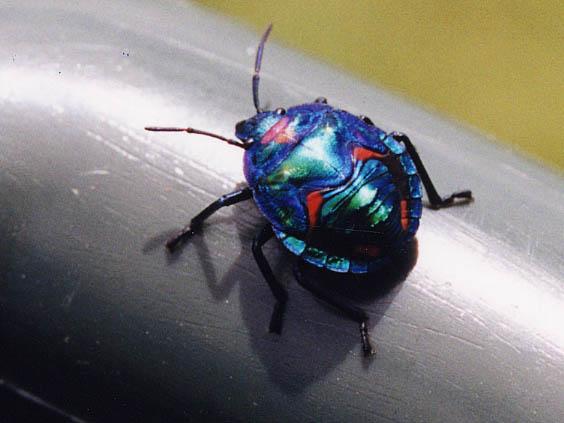 Beetle Australia