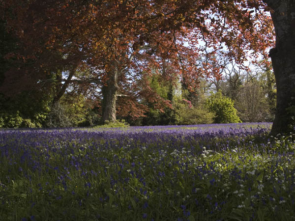 Bluebells at Enys