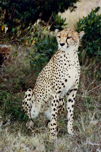 Cheetah, Masa Mari