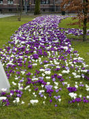Crocus Holland