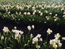 Field of Narcissi